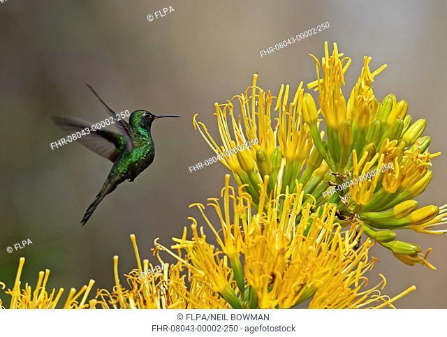Hispaniolan Emerald (Chlorostilbon swainsonii) adult male, in flight, feeding at flowers, Bahoruco Mountains N.P., Dominican Republic, January