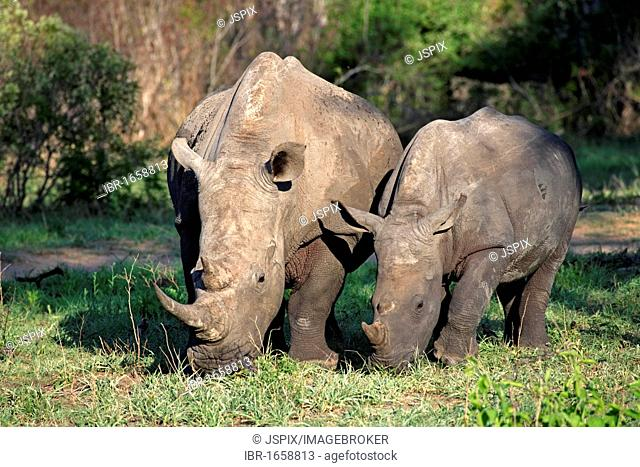 White Rhinoceros or Square-lipped rhinoceros (Ceratotherium simum), feeding adult female with young, Sabisabi Private Game Reserve, Kruger National Park