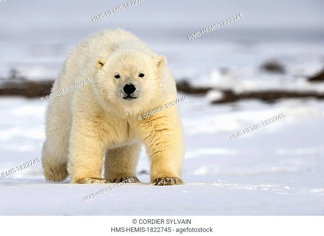United States, Alaska, Arctic National Wildlife Refuge, Kaktovik, Polar Bear (Ursus maritimus), yearling along a barrier island outside Kaktovik