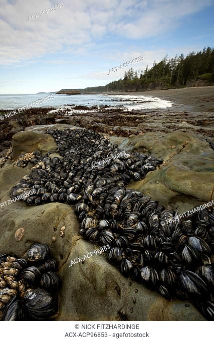 Pacific Blue Mussels, Mytilus trossulus, on the rocks at low tide, Pacific Rim National Park, British Columbia, Canada