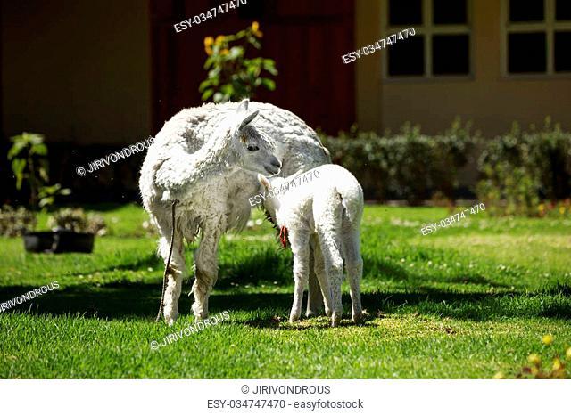 Llama feeding her white puppy with milk