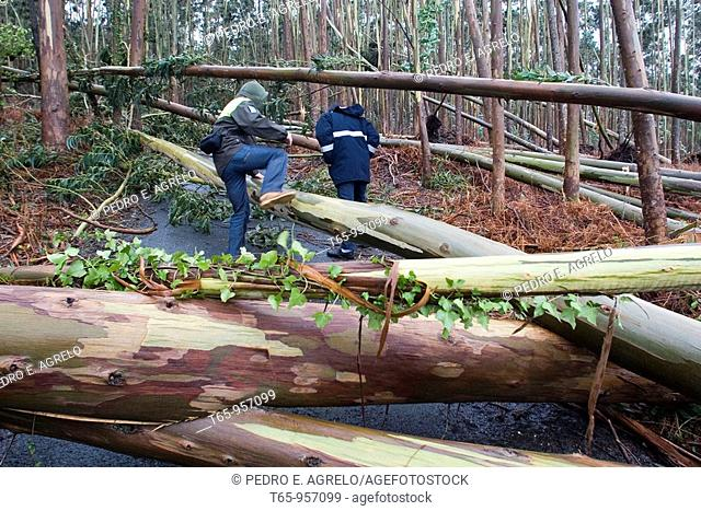 Tourist dodging fallen trees afther the pass of Cyclone Klaus. Lamacido, Mañón, A Coruña Province, Galicia, Spain