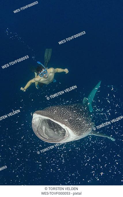 Indonesia, Cenderawasih Bay, Whaleshark and snorkeler