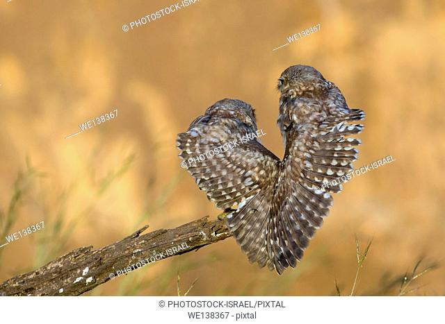 Little owl (athene noctua) couple perched on a branch. At just 20 centimetres in height this owl is, as its name implies, one of the smallest of its kind