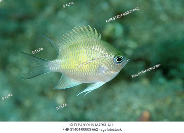 Staghorn Damsel (Amblyglyphidodon curacao) adult, swimming, Lembeh Straits, Sulawesi, Greater Sunda Islands, Indonesia, February