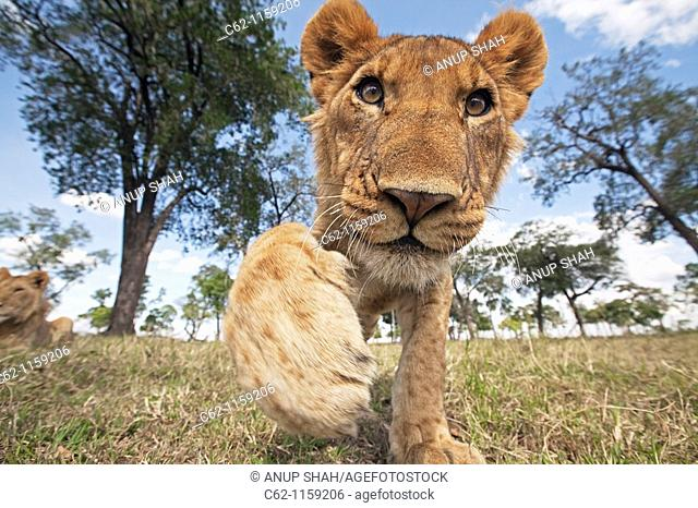 Lion (Panthera leo) adolescent reaching out with curiosity -wide angle perspective-, Maasai Mara National Reserve, Kenya