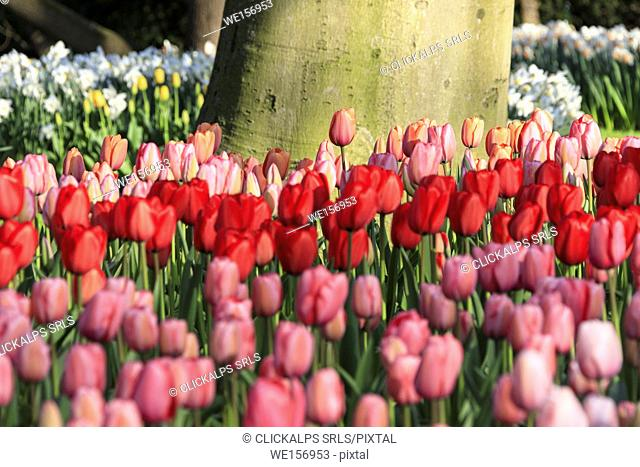 Close up of pink and red tulips in bloom at the Keukenhof Botanical garden Lisse South Holland The Netherlands Europe