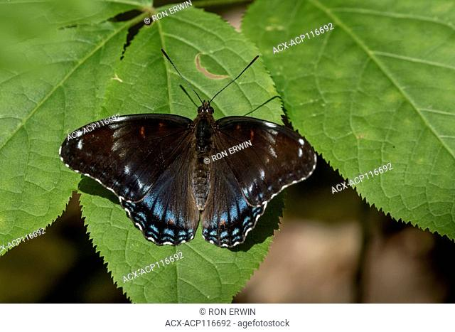 Limenitis arthemis butterfly hybrid of subspecies Red-spotted Purple (Limenitis arthemis astyanax) and White Admiral (Limenitis arthemis arthemis) in Awenda...