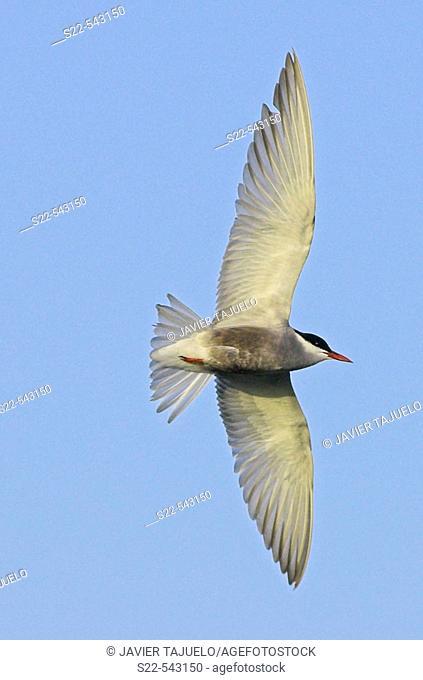 Whiskered Tern (Chlidonias hybridus). La Albufera, Valencia province, Comunidad Valenciana, Spain
