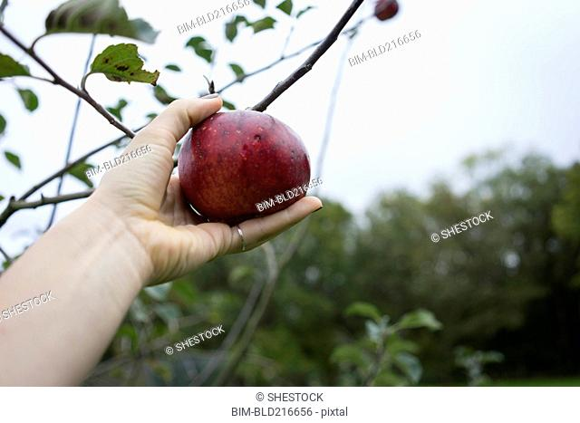 Close up of hand picking fruit from orchard tree