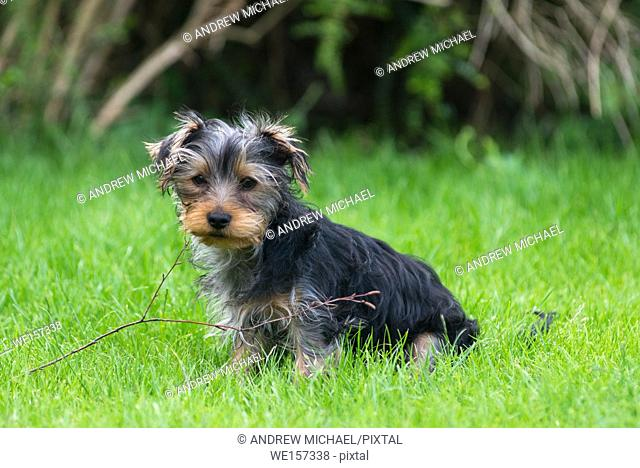 A Yorkshire Terrier puppy at play with twig in it's mouth