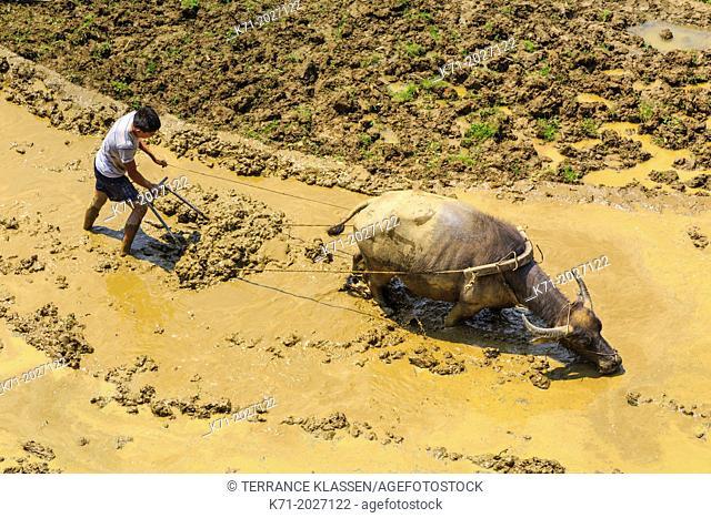 Water buffalo working a flooded rice terrace in Cat Cat village near Sapa, Vietnam, Asia