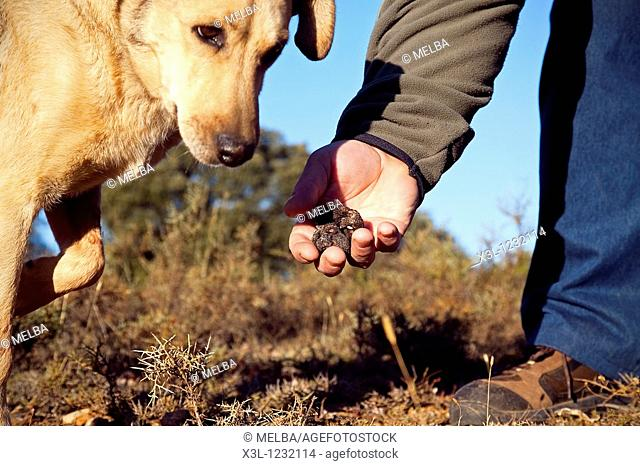 The truffle hound has sniffed out a truffle  Tiermes  Soria  Castile-Leon  Spain
