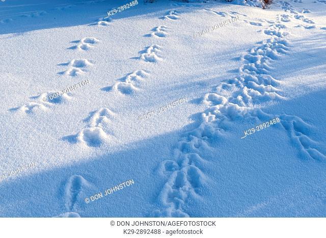 Rabbit tracks in winter, Dead Horse Point State Park, Utah, USA