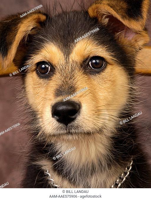 A shepherd mix pup. Close up face. 2007