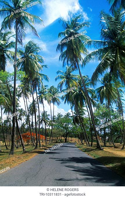 Tobago Road And Palm Trees