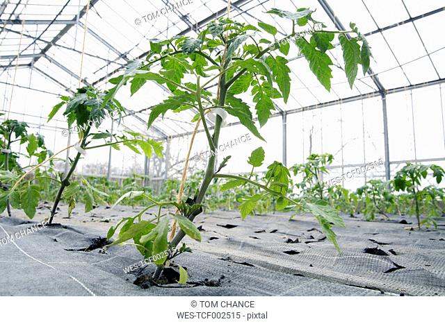 Germany, Bavaria, Cultivation of tomato plants in green house