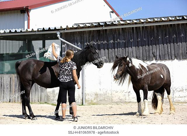 Arabian Horse and Gypsy Vanner Horse. Training for a calmness test with the help of noisy things in a sack. Germany