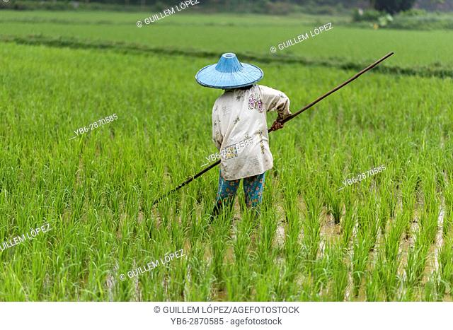 A female rice field worker at the Harau Valley, Sumatra, Indonesia