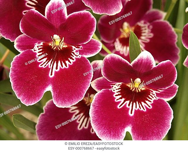 Orchid Miltonia hybr 'Dan Harvey'