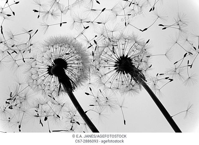 Dandelion Taxaxacum officinale seed heads