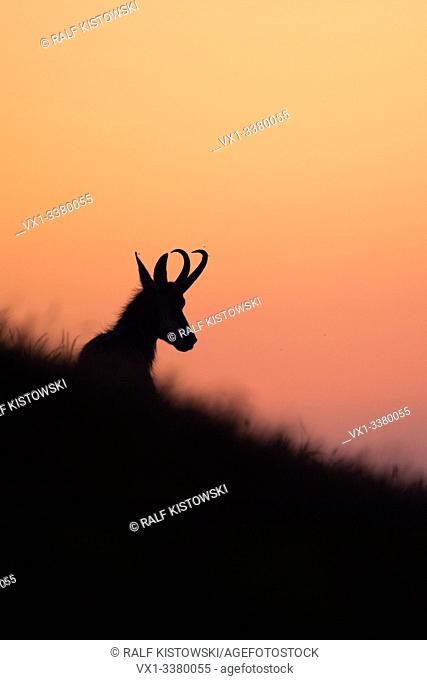 Chamois ( Rupicapra rupicapra ) lying, resting in grass of an alpine meadow, silhouetted against purple coloured evening sky, Europe