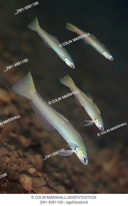 School of Pearly Dartfish (Ptereleotris microlepis, Microdesmidae family), Segara dive site, Seraya, near Tulamben, east Bali, Indonesia