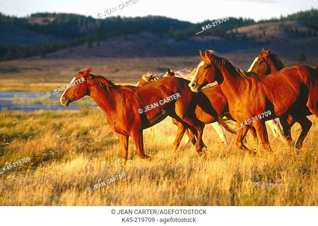 Horses running on the range. Ponderosa Ranch. Central Oregon. USA