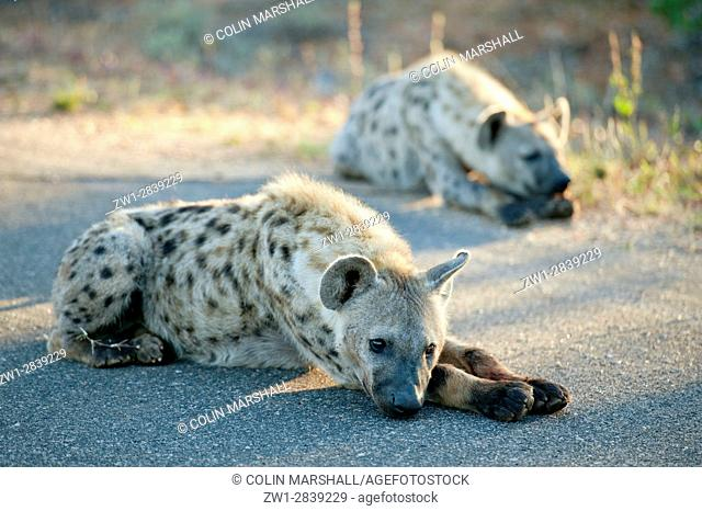 Spotted Hyena (Crocuta crocuta) aka Laughing Hyena on road with skull of antelope, Kruger National Park, Transvaal, South Africa