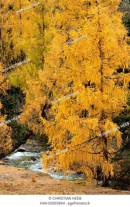 Asia, China, Chinese, Peoples Republic, Western China, Sichuan Province, Tibetan, Shuangqiao Valley, Xiaojin County, Larch tree