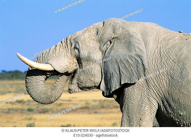 Namibia. Etosha National park. Drinking Elephant (Loxodonta africana)
