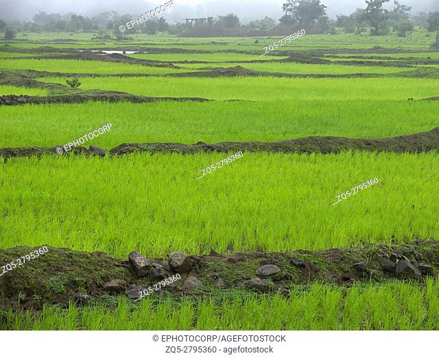 Paddy fields after cultivation. Maharashtra