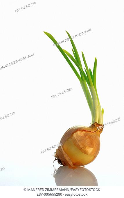 Individual germinating onion