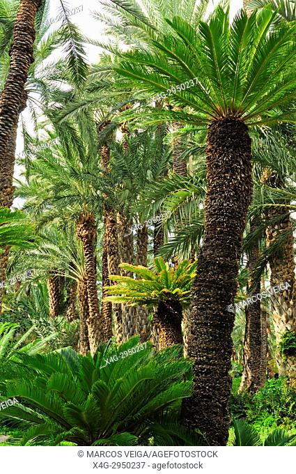 Palm trees at the Huerto del Cura, National artistic garden. Elche, Alicante, Spain
