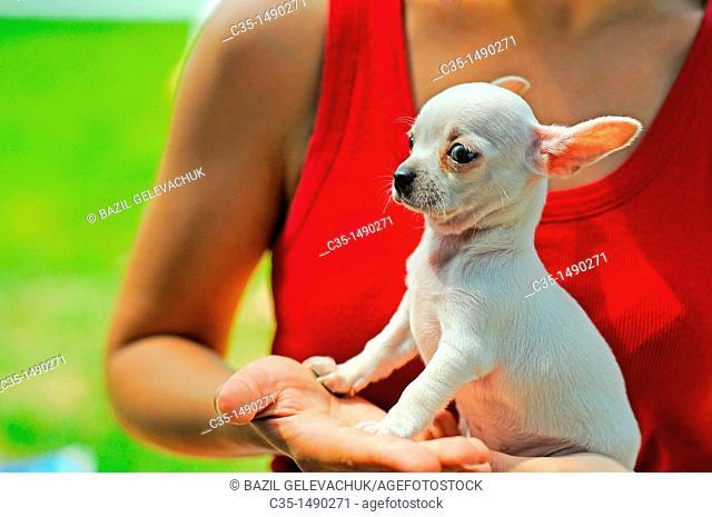 Dog Chihuahua Puppies