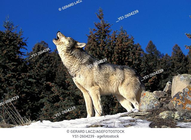 European Wolf, canis lupus, Adult Baying, Germany