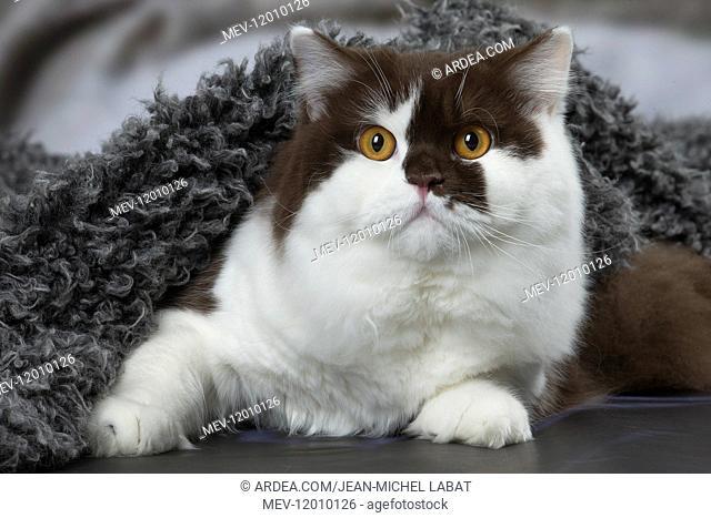 White and chocolate British Longhair cat indoors