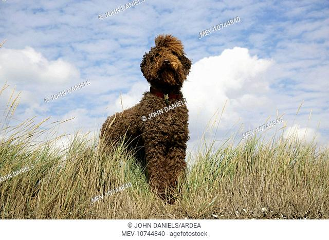 Brown labradoodle standing in field