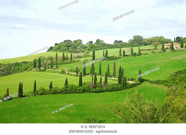 Italian cypress (Cupressus sempervirens), cypress alley near La Foce, Italy, Tuscany