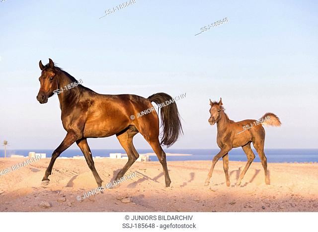 Arabian Horse. Bay mare with foal trotting in desert. Egypt