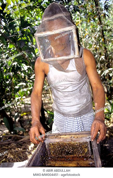 A man collects honey from beehives Apiculture or beekeeping is a good source of income in Bangladesh March 25, 2008