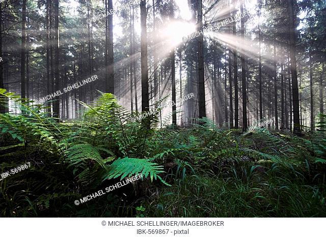 Ferns in fir forest, backlit