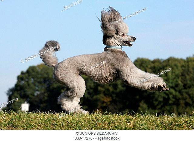 Domestic Dog, Pudel (Canis lupus familiaris). Silver adult leaping on a meadow