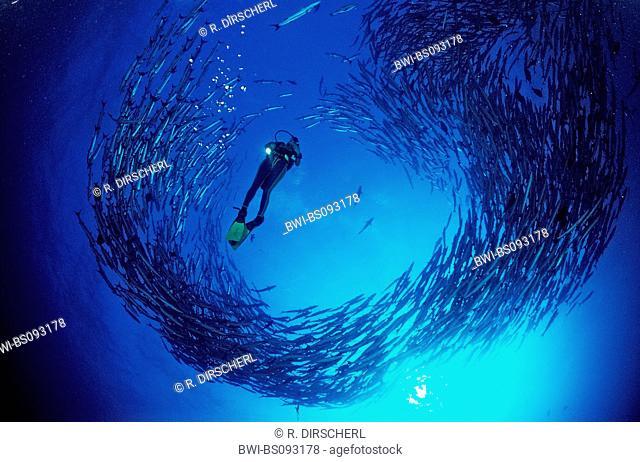 blackfin barracuda (Sphyraena qenie), scuba diver in school, Sudan, Red Sea