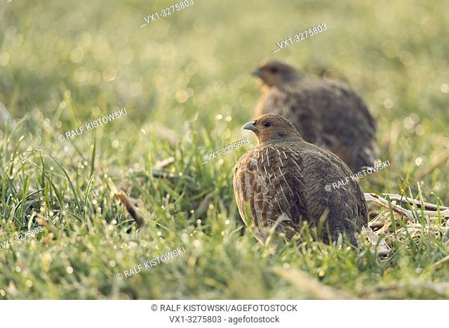 Grey Partridges ( Perdix perdix ), pair of, sitting in wet grass, early morning backlight situation, watching around for safety.