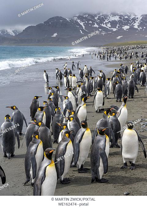 King Penguin (Aptenodytes patagonicus) on the island of South Georgia, the rookery on Salisbury Plain in the Bay of Isles