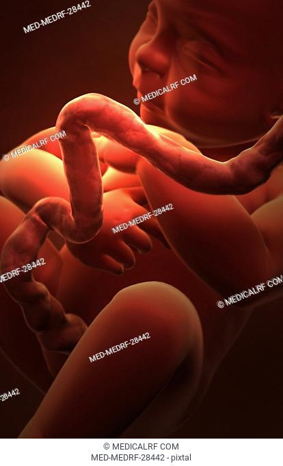 Embryonic development. Week 33