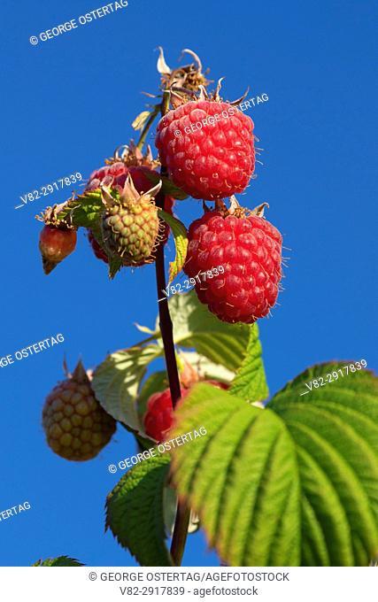 Raspberry, Marion County, Oregon