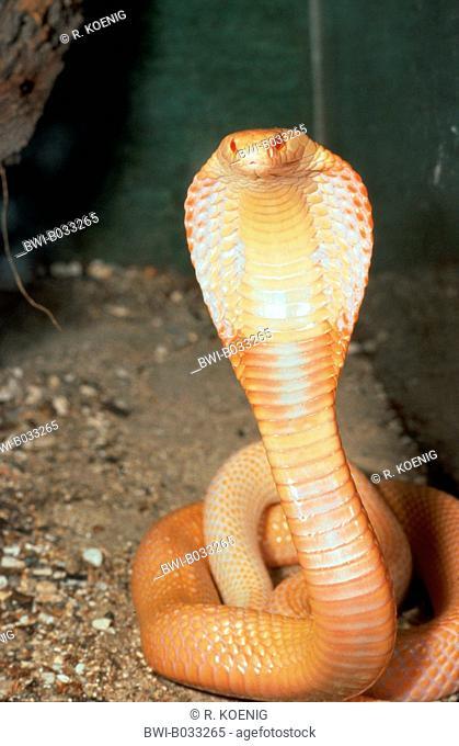 monocled cobra (Naja kaouthia), albinotic individual