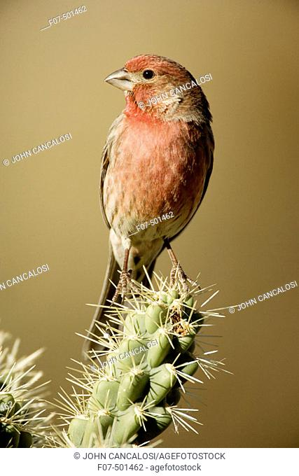 House Finch (Carpodacus mexicanus) - Arizona - Abundant species with range in western U.S. and Mexico and Eastern U.S. - Found in semiarid lowlands and slopes...
